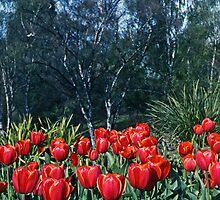 Spring Tulips—Kodachrome 64 by Brett Rogers
