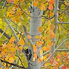 Aspens Glow by © Betty E Duncan ~ Blue Mountain Blessings Photography