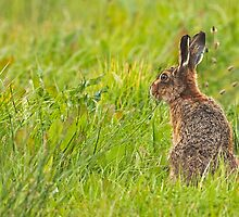 Brown Hare II by PaulScoullar