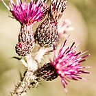 Thistle by Shelly Still