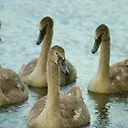 Ugly Ducklings - Soon to be Graceful Swans by CliveSluter