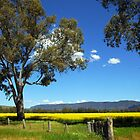 Grampians canola crop by Donna O'Connor