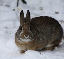 Mountain Cottontail by Alyce Taylor