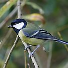 Great Tit by Hovis