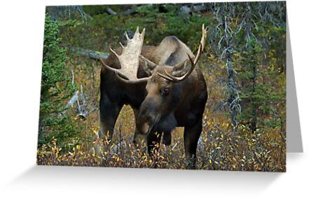 Bull moose in the woods by Philippe Widling