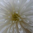 Chrysanthemum by Jo Newman