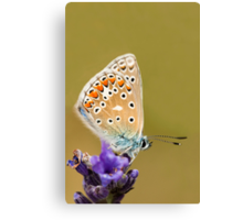 Common Blue Canvas Print