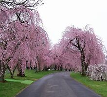 Weeping Cherry Trees in Bloom by Michael L. Colwell