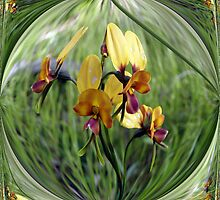 Pansy Orchid by Rocksygal52
