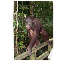 Sepilok Orangutan Rehabilition Centre Poster