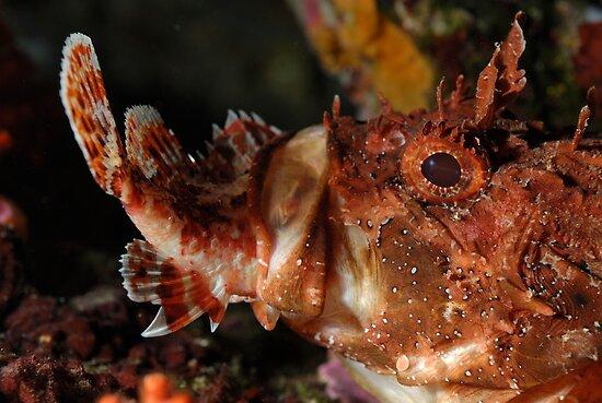 Close up of Scorpion Fish (Scorpaena Scrofa) eating fish, side view by Sami Sarkis