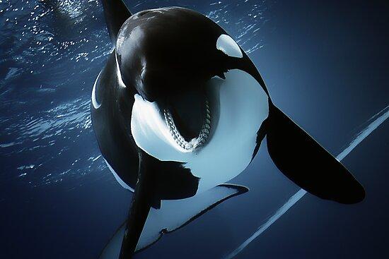 orcinus orca by Rebecca Tun