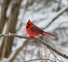 Cardinal by Alyce Taylor