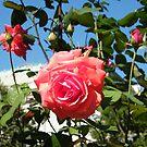Jersey City, New Jersey, Rose Close-Up, Van Vorst Park  by lenspiro
