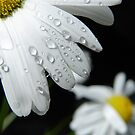 Daisy Drops by LadyEloise