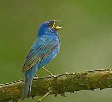 Indigo bunting I by Mundy Hackett