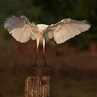 The Egret has landed by Keith McGuinness