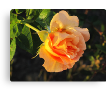 Rose in Sunshine Canvas Print
