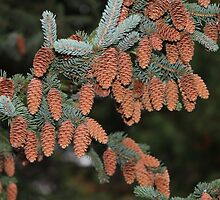 Fir Cones by karina5