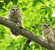 Barred Owl (Strix varia) by MIRCEA COSTINA