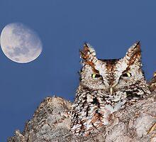 Eastern Screech Owl (Megascops asio) by MIRCEA COSTINA