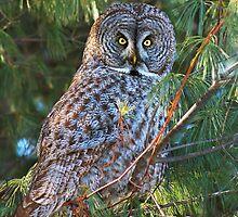 Great Grey (Owl Strix nebulosa) by MIRCEA COSTINA