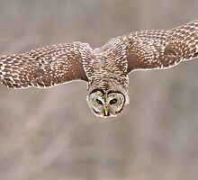 Barred-Owl (Strix-varia) by MIRCEA COSTINA