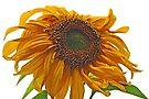 sunflower bad hair day by dedmanshootn