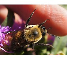 One of my Bumble bees Photographic Print