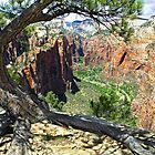Pine Atop Angels Landing Frames Zion Canyon by Kenneth Keifer