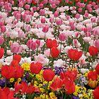 A Festival of Colour, Floriade, Canberra, Australia. by kaysharp
