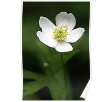 Canada Anemone (Anemone canadensis) Poster