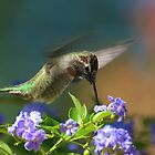 Male Hummingbird In Flight by Diana Graves Photography