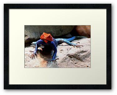 Rainbow Agama by Veronica Schultz