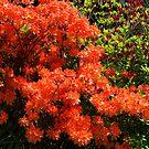 Mollis Azalea of Orange by Bev Pascoe