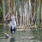 Shabby Chic! Great Blue Heron by NewfieKeith