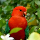 King Parrot Portrait by Margaret Stockdale
