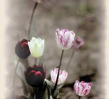 Mixed Tulips-8039-Yabba by Barbara Harris