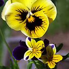 Pansies of Yellow by Bev Pascoe