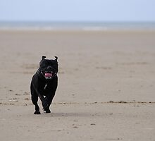 Staffordshire Bull Terrier running on beach by OurKev
