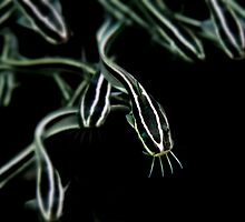 Striped Eel Catfish (Plotosus lineatus) by adamwilkins