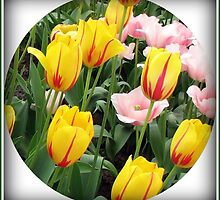 ' La Courtine' Tulips - Keukenhof Gardens by MidnightMelody