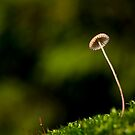 Thin toadstool by rbirch