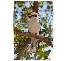 Laughing Kookaburra, Taken at Bradleys Head Poster