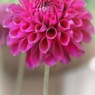 Softly my little Dahlia by Julesrules