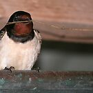 Swallow by Anthony Thomas