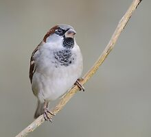 Sparrow, County Kilkenny, Ireland by Andrew Jones