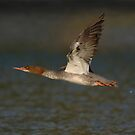 Common Merganser Inflight 01 - Ottawa, Ontario by Stephen Stephen