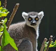 Ring-Tailed Lemur, Adelaide Zoo. Not sure if this is Cheech or Chong by Rob Moffatt