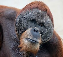 HSING HSING Orangutan by Eve Parry